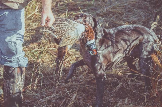 pheasant_hunting_rosehill_2016-52-of-73