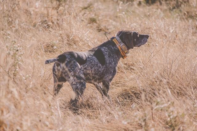 pheasant_hunting_rosehill_2016-66-of-73