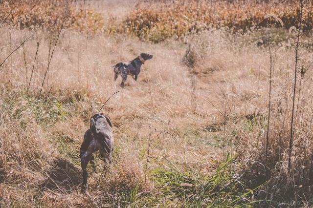 pheasant_hunting_rosehill_2016-67-of-73